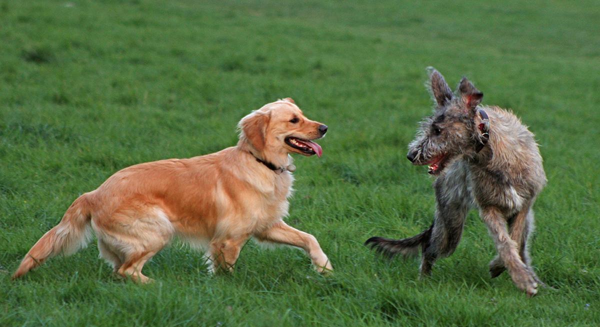 Ayko, ein junger Golden Retriever spielt mit einer auch noch jungen irischen Wolfshündin auf der Freilauflauffläche am Robinienweg